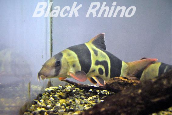 クラウンローチ02 箱根園水族館