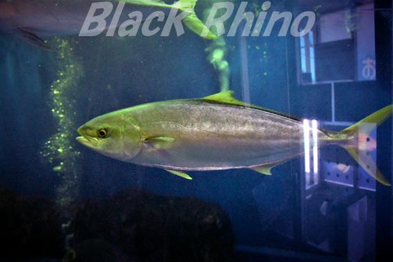 ヒラマサ01 越前松島水族館