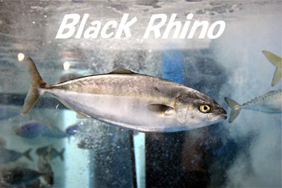 ブリ01 越前松島水族館