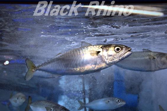 マサバ02 越前松島水族館
