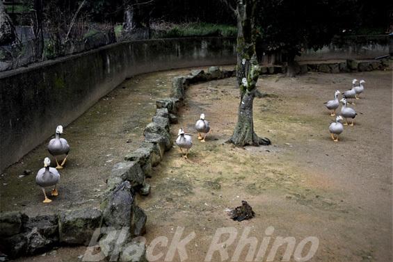 インドガン02 みさき公園
