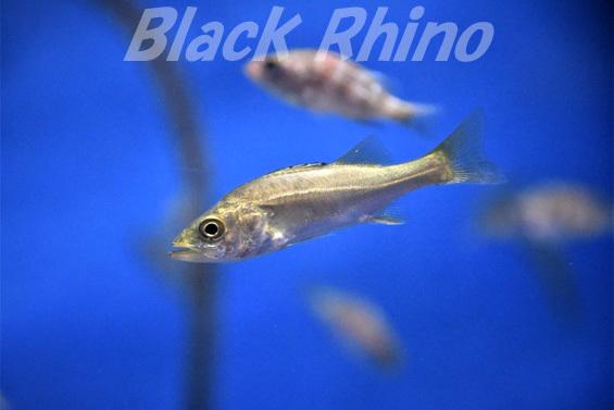 スズキ02 竹島水族館