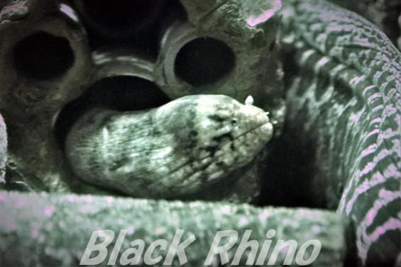 blotched moray 01 シーライフ名古屋