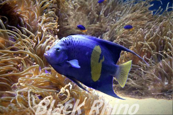 セダカヤッコ01 鳥羽水族館