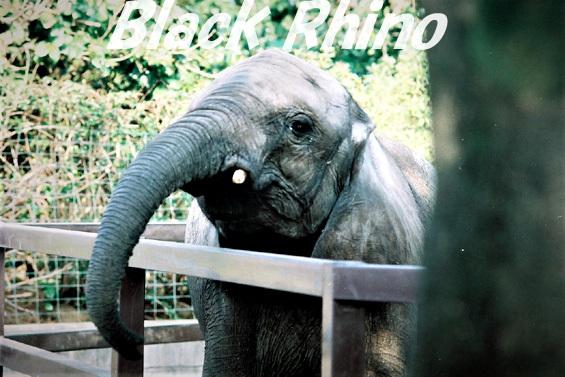 アフリカゾウ01 宮崎市フェニックス自然動物園