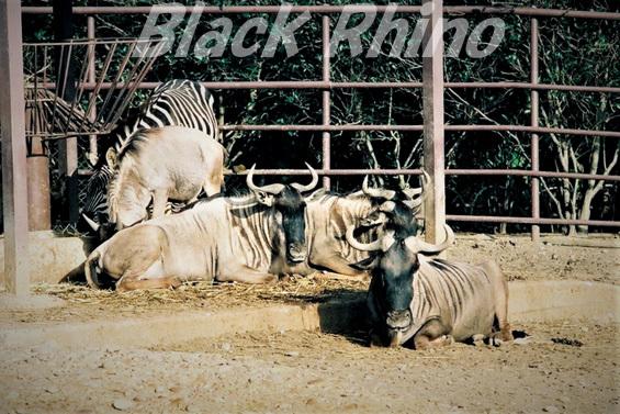 シロヒゲオグロヌー01 宮崎市フェニックス自然動物園