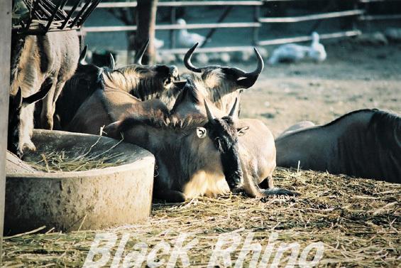 シロヒゲオグロヌー02 宮崎市フェニックス自然動物園