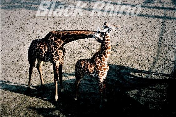 マサイキリン01 宮崎市フェニックス自然動物園
