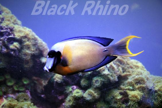 クログチニザ02 鳥羽水族館