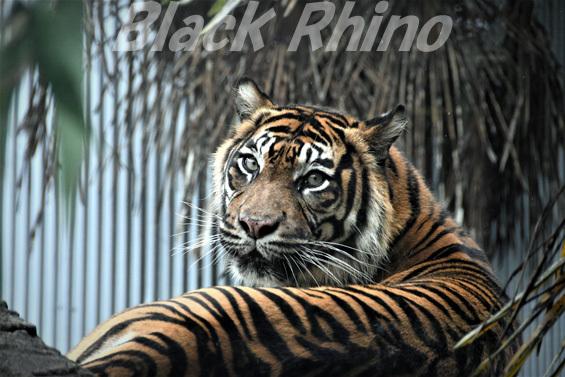 スマトラトラ01 八木山動物公園