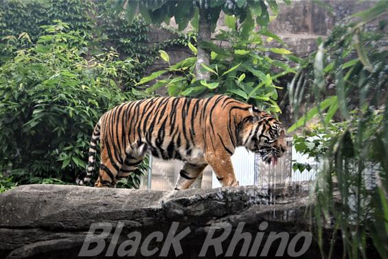 スマトラトラ03 八木山動物公園