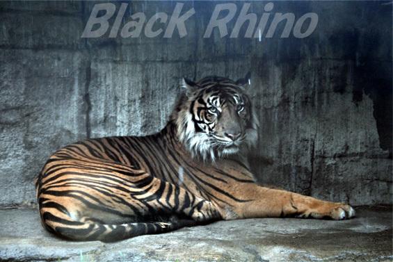 スマトラトラ05 八木山動物公園