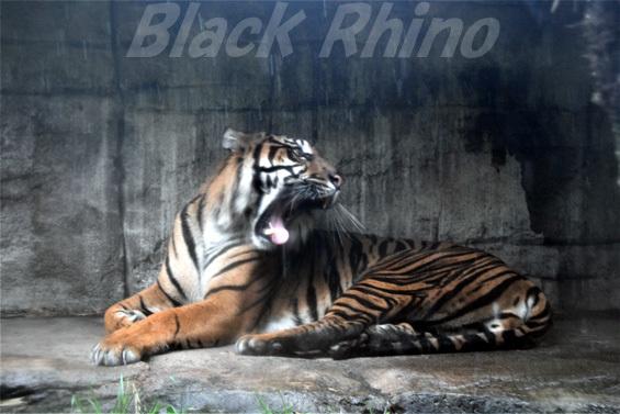 スマトラトラ06 八木山動物公園