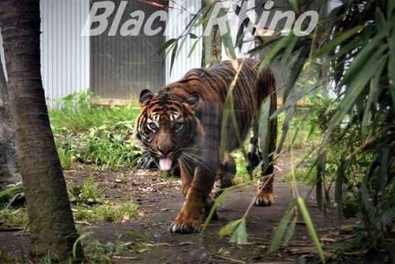 スマトラトラ08 八木山動物公園