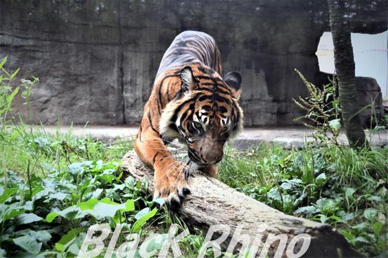 スマトラトラ09 八木山動物公園