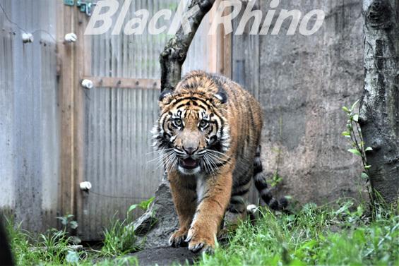 スマトラトラ10 八木山動物公園