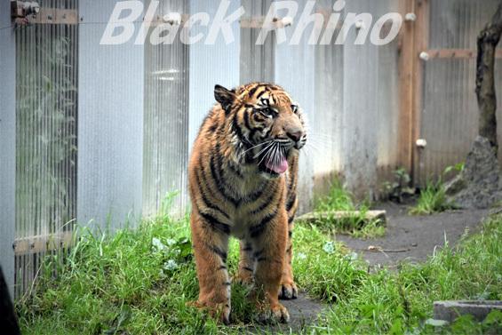 スマトラトラ11 八木山動物公園