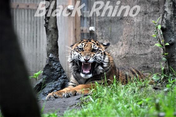 スマトラトラ12 八木山動物公園