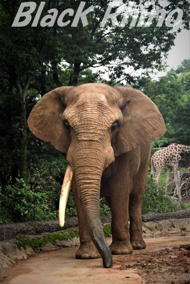 アフリカゾウ ベン01 八木山動物公園