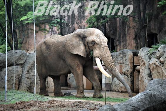 アフリカゾウ ベン02 八木山動物公園