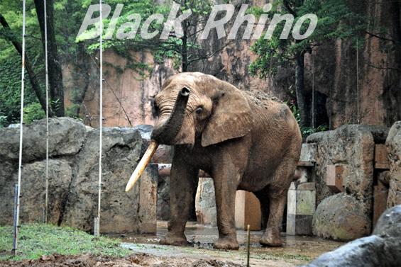 アフリカゾウ ベン03 八木山動物公園