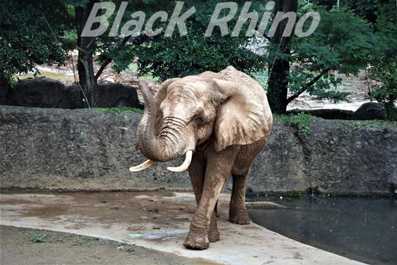 アフリカゾウ メアリー01 八木山動物公園