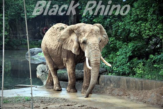 アフリカゾウ メアリー02 八木山動物公園