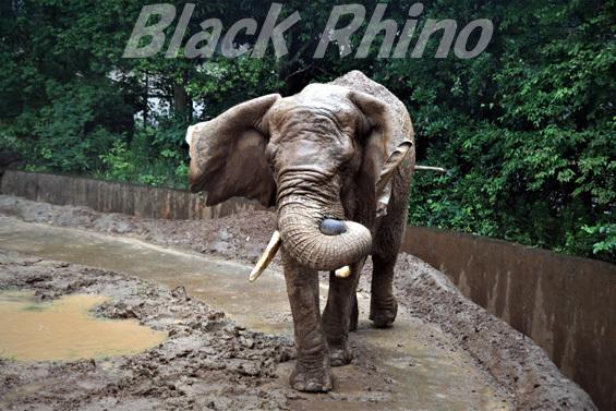 アフリカゾウ メアリー03 八木山動物公園