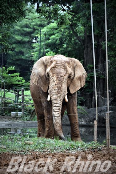 アフリカゾウ 花子01 八木山動物公園