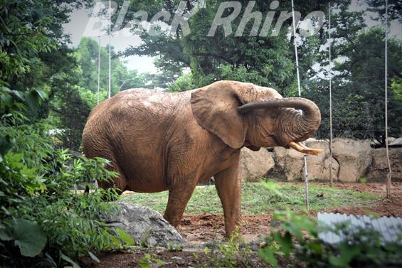 アフリカゾウ 花子02 八木山動物公園