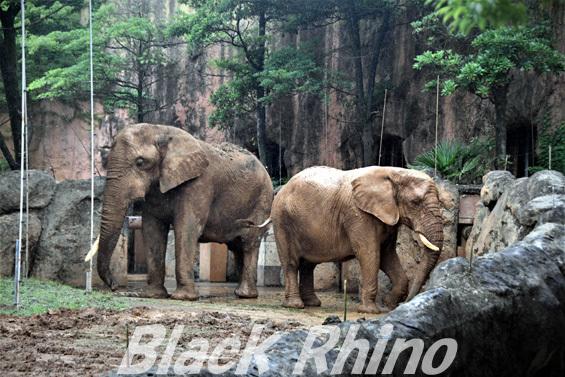 アフリカゾウ 花子03 八木山動物公園