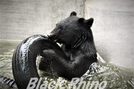ニホンツキノワグマ01 八木山動物公園