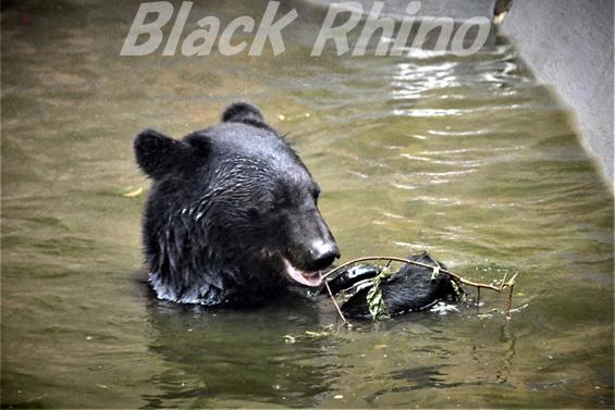 ニホンツキノワグマ02 八木山動物公園