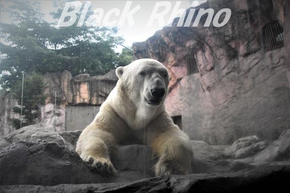 ホッキョクグマ カイ01 八木山動物公園