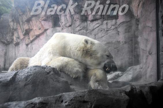 ホッキョクグマ カイ02 八木山動物公園
