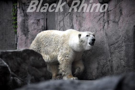 ホッキョクグマ カイ03 八木山動物公園