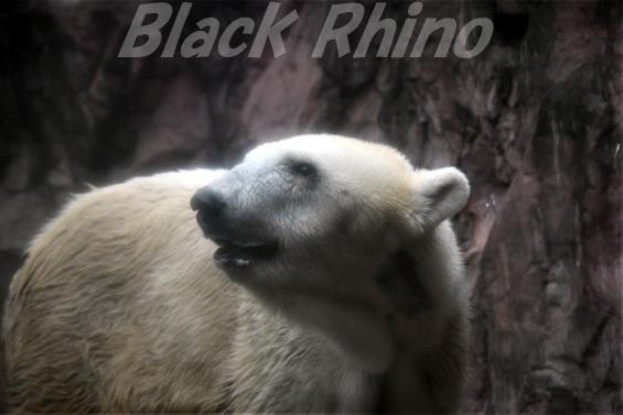 ホッキョクグマ ナナ01 八木山動物公園