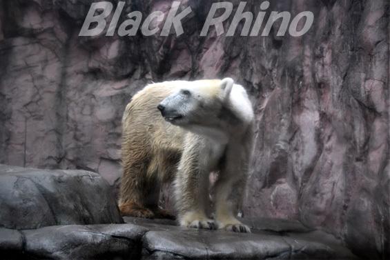 ホッキョクグマ ナナ02 八木山動物公園