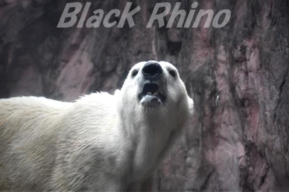 ホッキョクグマ ナナ03 八木山動物公園