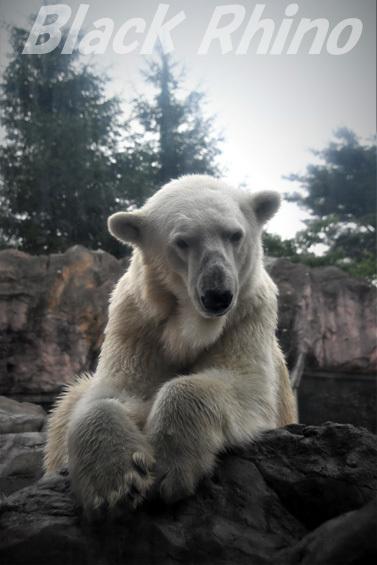 ホッキョクグマ ポーラ01 八木山動物公園