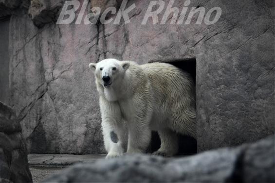 ホッキョクグマ ポーラ02 八木山動物公園