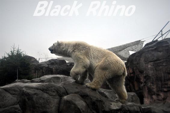 ホッキョクグマ ポーラ03 八木山動物公園