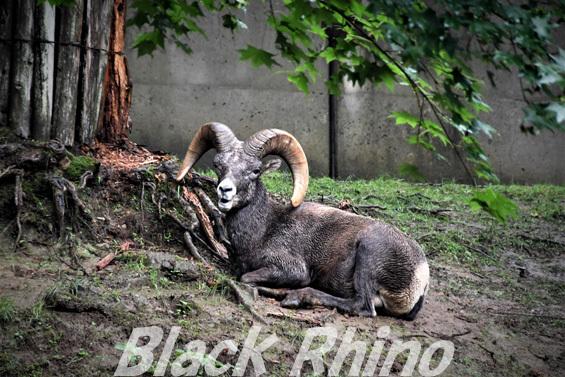 オオツノヒツジ02 盛岡市動物公園