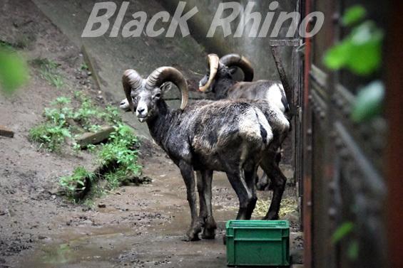 オオツノヒツジ04 盛岡市動物公園