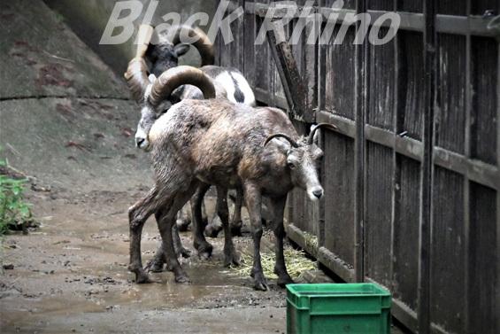 オオツノヒツジ06 盛岡市動物公園
