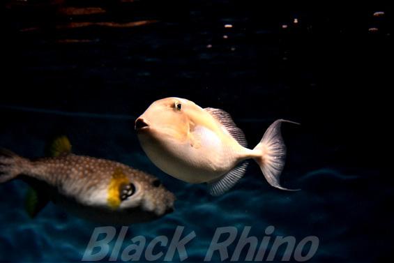 イトヒキオキハギ02 海響館