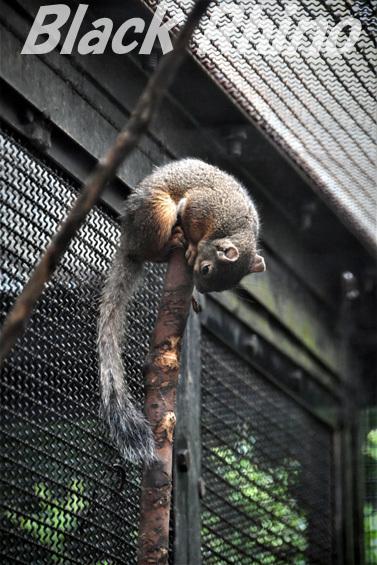 ニホンリス01 盛岡市動物公園