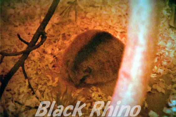 ヤマネ02 盛岡市動物公園