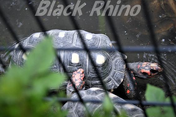 アカアシガメ02 八木山動物公園