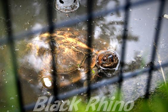 オオヤマガメ02 八木山動物公園